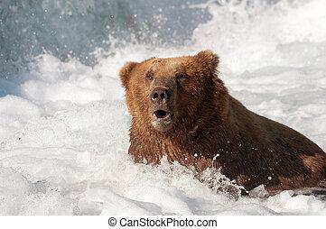 Alaskan brown bear fishing for salmon - A large Alaskan...