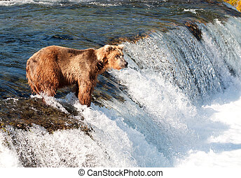 A large Alaskan brown bear fishes for salmon in the rapis of Brooks Falls in Katmai National Park