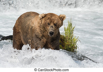 Alaskan brown bear fishing for salmon below Brooks Falls in Katmai National Park, Alaska