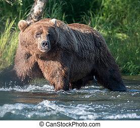 Alaskan brown bear fishing for salmon below Brooks Falls in...