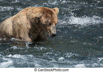 Alaskan brown bear fishing for salmon in the Brooks River in Katmai National Park, Alaska.
