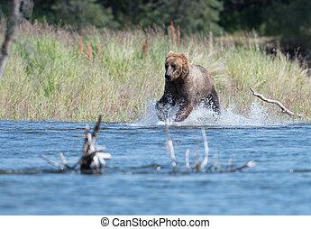 Alaskan brown bear in Brooks River - Alaskan brown bear...