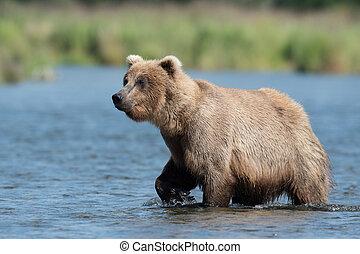 Alaskan brown bear in Brooks River - An Alaskan brown bear...