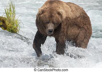 Alaskan brown bear in the rapids near Brooks Falls in Katmai...