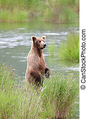 Alaskan Brown bear on hind legs - An Alaskan brown bear...