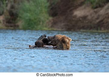 Alaskan brown bear playing - Alaskan brown bear cub playing...