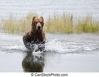 Alaskan Brown bear running through water - An Alaskan brown...