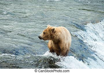 Alaskan brown bear sow atop Brooks Falls in Katmai National...