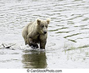 Alaskan brown bear standing in water in Katmai National Park