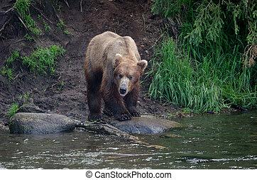 Alaskan brown bear standing on the shore