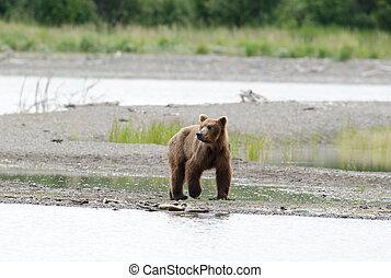 Alaskan brown bear walking along the shore - An Alaskan...