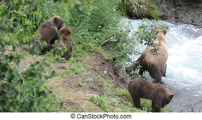 An Alaskan brown bear fishes for salmon in a fast moving stream while three cubs play along the shoreline in Katmai National Park, Alaska.
