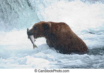 Alaskan brown bear with salmon - An Alaskan brown bear...