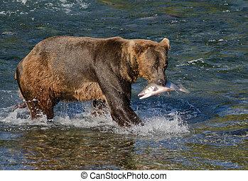 Alaskan brown bear with salmon - An Alaskan brown bear holds...