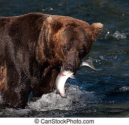 Alaskan brown bear with salmon in its mouth - An Alaskan...
