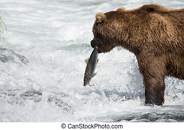 Alaskan brown bear with salmon