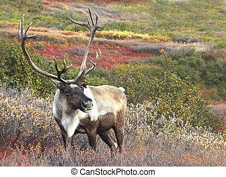 alaskan, caribou, ligado, outono, tundra