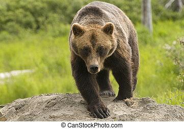 Alaskan Grizzly bear walking towards the viewer