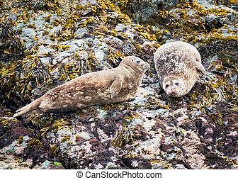 Alaskan Harbor Seals
