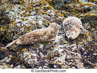 Alaskan Harbor Seals