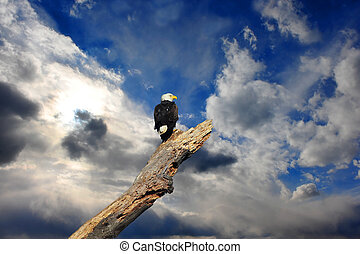 alaskan, kale adelaar, in, boompje, met, wolken