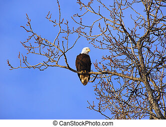 alaskan, kale adelaar, in, boompje, op, ondergaande zon