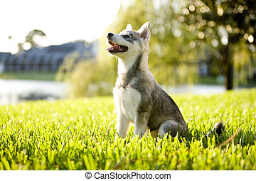 Alaskan Klee Kai puppy sitting on grass looking up