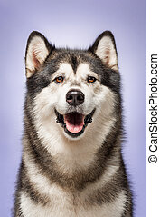 Alaskan Malamute, 2 years old, sitting in front of lilac background