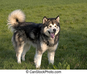 Alaskan Malamute dog standing