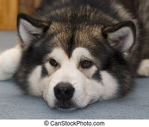 Alaskan malamute dog with face on carpet