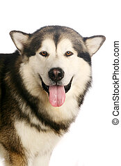 Alaskan malamute dog on white - Alaskan malamute dog...