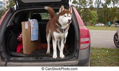 alaskan malamute in car