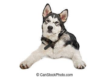 Alaskan Malamute puppy in front of a white background