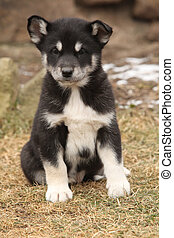 Alaskan Malamute puppy in front of some snow