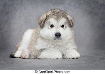 One month old alaskan malamute puppy against grey background
