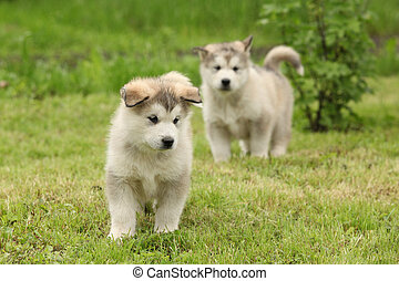 Two Alaskan Malamute puppies standing on the grass
