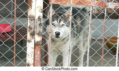 Alaskan Malamute with eyes of different colors runs in cage...