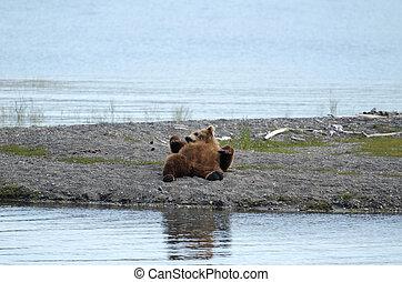 alaskan oso marrón, descansar