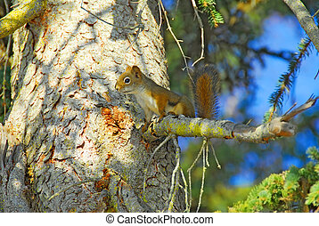 Alaskan Red Squirrel in Tree