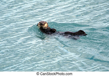 Alaskan Sea Otter swimming in Resurrection Bay, Seward...