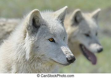 Alaskan Tundra Wolf
