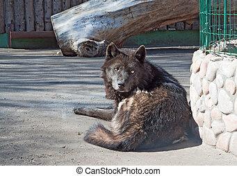Resting alaskan wolf (C. Lupus pambasileus)
