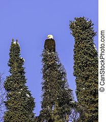 alaskanin, łysy orzeł, w, choinkowe drzewo