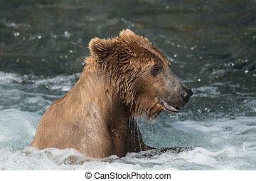 alaskischer brauner bär, an, bäche, fällt