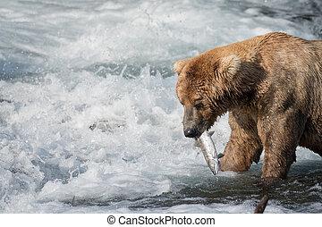 alaskischer brauner bär, essende, lachs