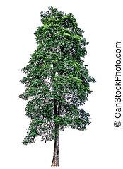 Alatus Roxb - Dipterocarpus alatus Roxb tree isolated on ...