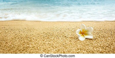 alba, frangipani), (white, plumeria, plaża, piaszczysty