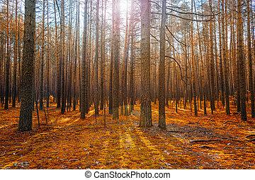 alba, in, magia, autunno, conifero, foresta, come, bello, natura, scenario