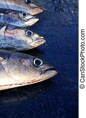 Albacore bloody tuna sport fisherman catch