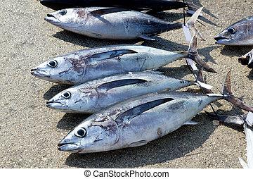 Albacore tuna fish Thunnus Alalunga catch in fishing tourney...